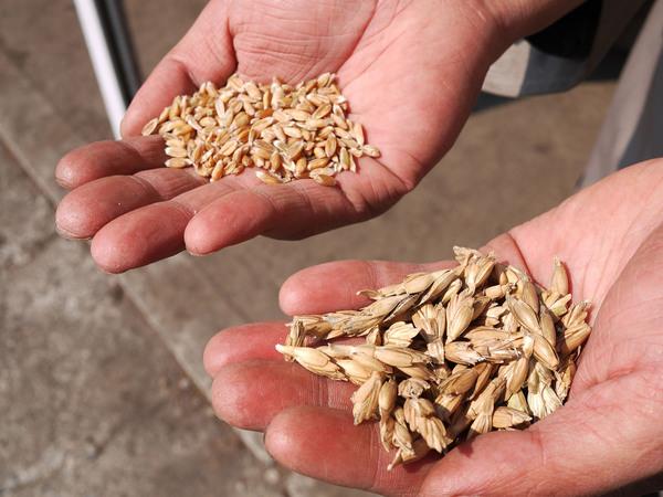 佐藤農場 ディンケル小麦について