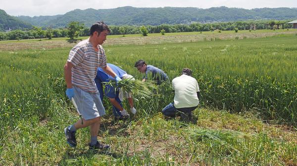 ドライフラワー用小麦の刈り取り