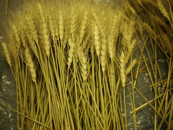 畑からの贈り物:麦穂のドライフラワー もうすぐお届けいたします