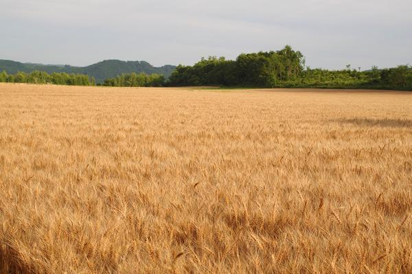 十勝の小麦 豊作のご報告とポストカード