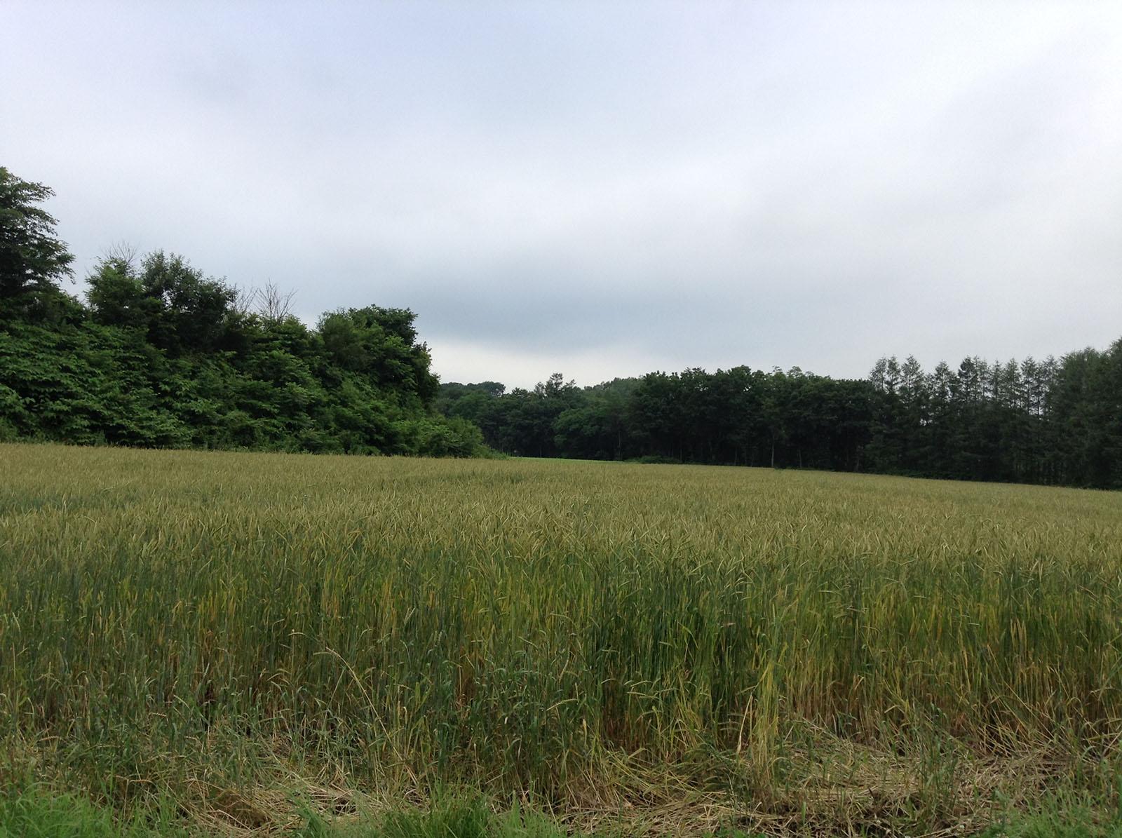 十勝の天気と小麦